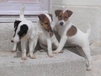 chiots fox terrier