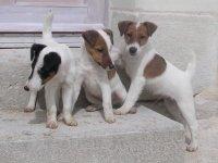 chiots fox terrier