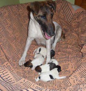 Ffairy - naissance fox terrier