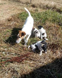 fox terrier Dorie
