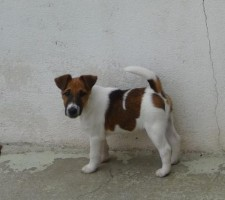 fox-terrier-rhapsodie