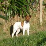 reproducteur-fox-terrier-rhapsodie