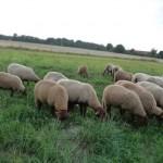 Moutons des Solognots, beiges et plus gros
