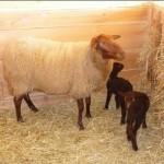 avec une de Petits agneaux de Sologonts à la bergerie, ils ont une couleur chocolat à la naissance