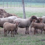 élevage mouton solognot
