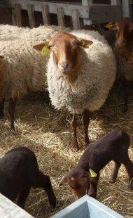 Eleveur  | moutons Solognots